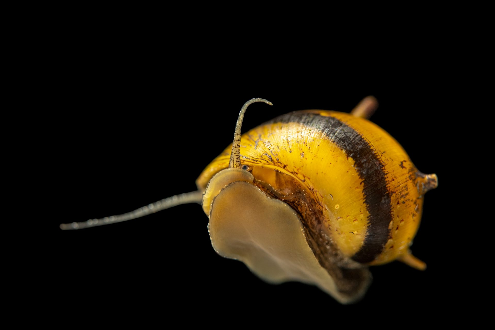 Photo: Horned nerite snail (Clithon corona) from a private collection.
