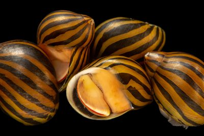 Photo: Zebra nerite snail (Neritina natalensis) from a private collection.