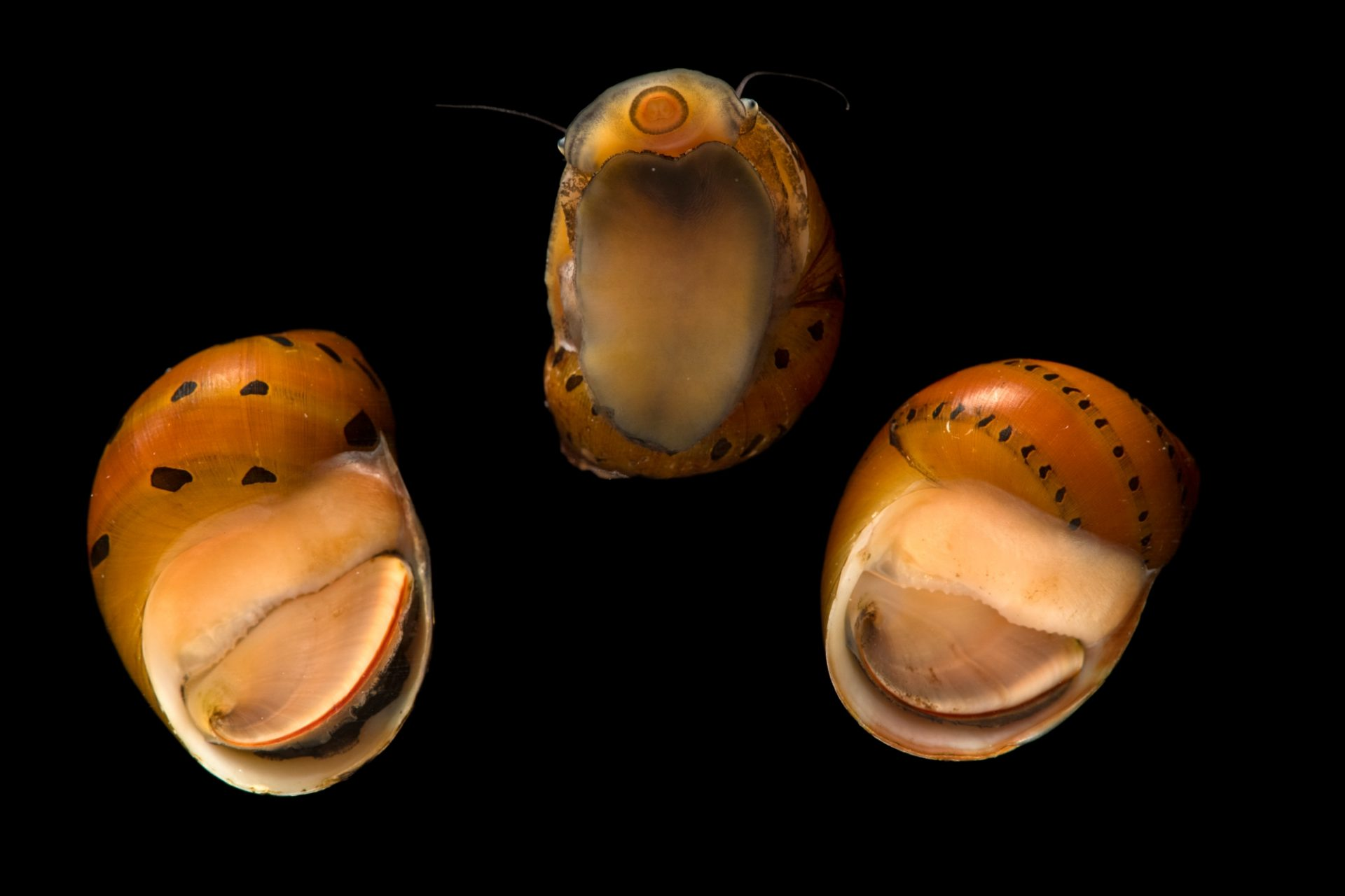 Photo: Tire track snail or red nerite snail (Vittina waigiensis) from a private collection.