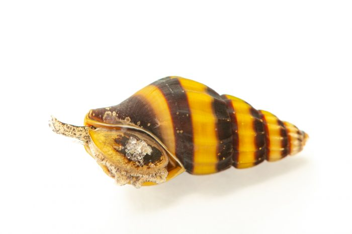 Photo: Assassin snail (Clea helena) at Shrimp Fever, from a private collection.