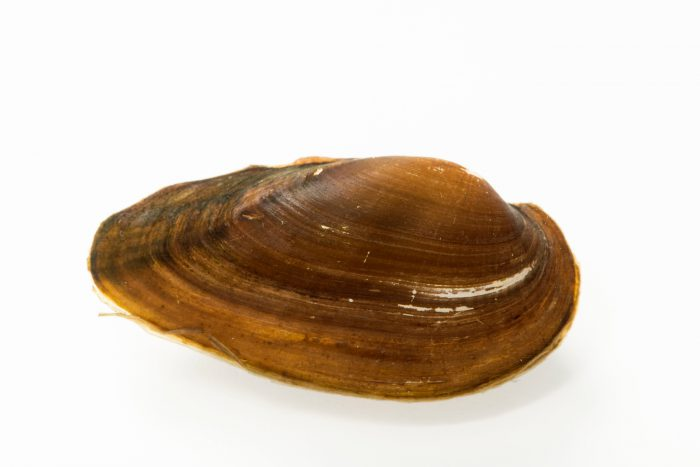 Photo: Chinese pond mussel (Sinanodonta woodiana) from a private collection.
