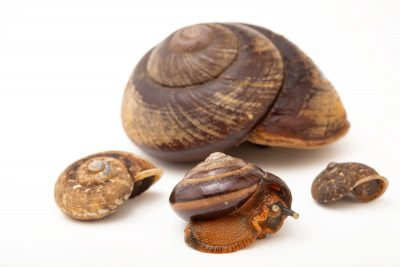 Photo: Four different species of forest snails at the University of the Philippines.