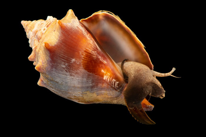 Photo: A fighting conch (Strombus alatus) at the Akron Zoo.