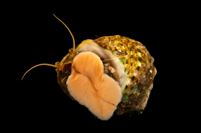 Photo: An unidentified turban snail (Turbo sp.) at the Akron Zoo.