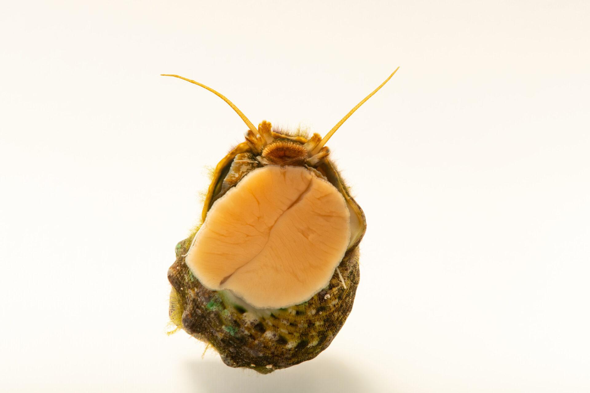 Photo: An unidentified turban snail (Turbo sp.) at the Akron Zoo.