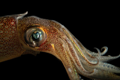 Photo: A longfin inshore squid (Doryteuthis pealeii) at the Maine State Aquarium in West Boothbay, ME.