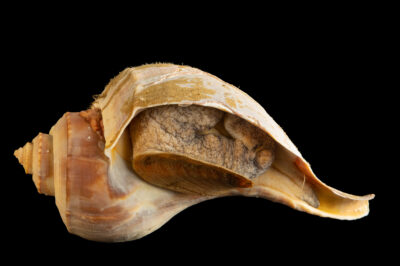 Photo: A channel whelk (Busycotypus canaliculatus) at the Maine State Aquarium in West Boothbay, ME.