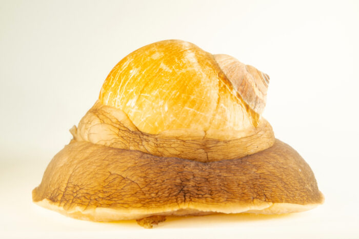 Photo: A northern moon snail (Euspira heros) at the Maine State Aquarium in West Boothbay, ME.