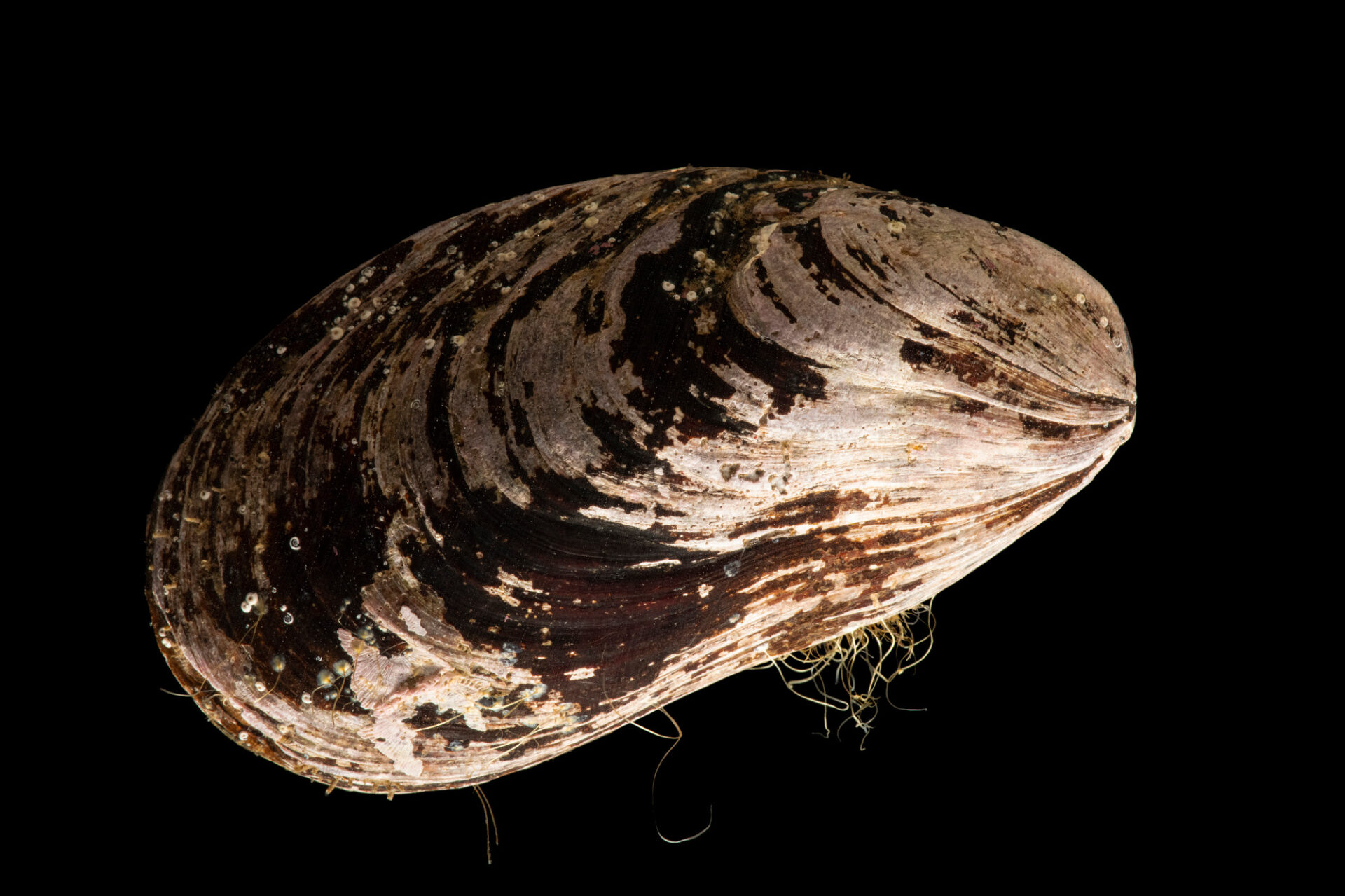 Photo: A northern horse mussel (Modiolus modiolus) at the Maine State Aquarium in West Boothbay, ME.