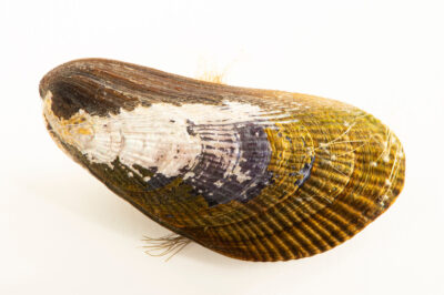 Photo: A ribbed mussel (Geukensia demissa) at the Maine State Aquarium in West Boothbay, ME.