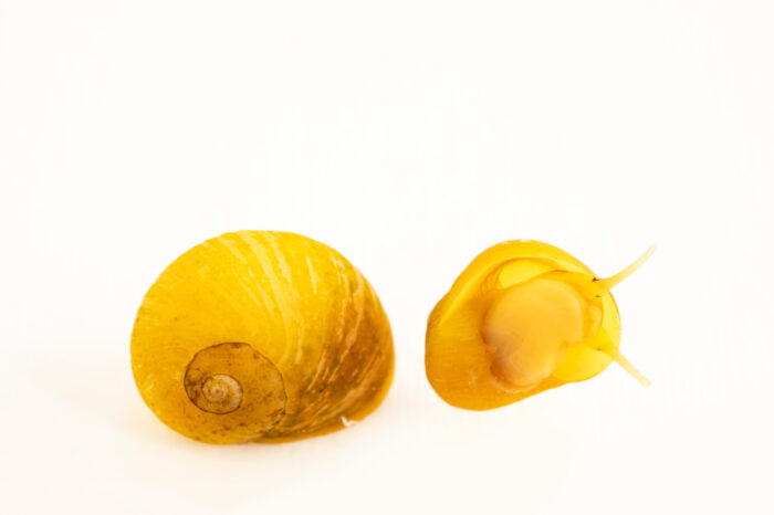 Photo: A yellow periwinkle (Littorina obtusata) at the Maine State Aquarium in West Boothbay, ME.