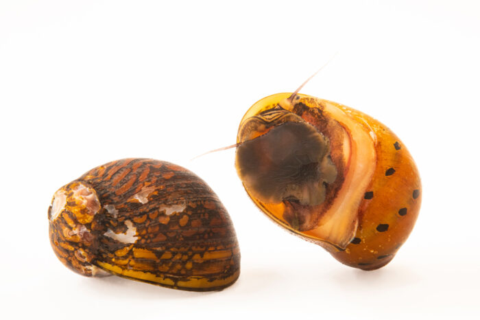 Photo: Two tiger nerite snails (Neritina gagates) at Safari Park Dvur Kralove.