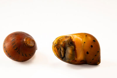 Photo: Two nerite snails (Neritina semiconica) at Dvůr Králové Zoo.