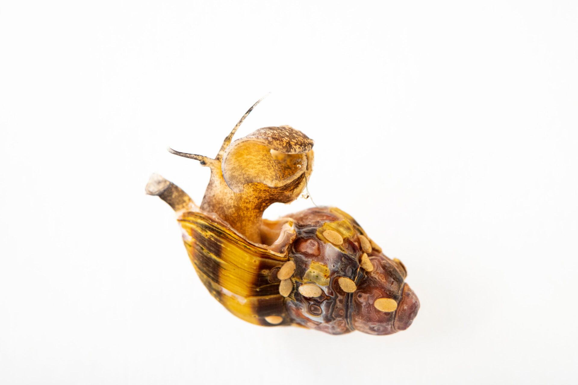 Photo: An assassin snail (Clea helena) at Safari Park Dvur Kralove.