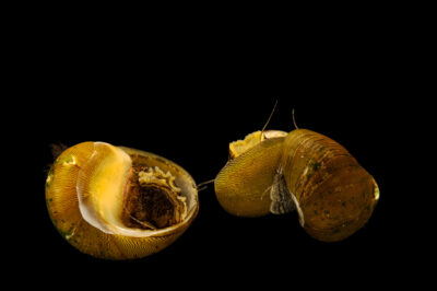 Photo: Olive nerite snails (Neritina reclivata) at Conservation Fisheries in Knoxville, Tennessee.