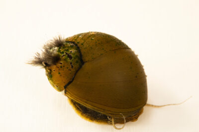 Photo: An olive nerite snail (Neritina reclivata) at Conservation Fisheries in Knoxville, Tennessee.