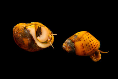 Photo: A pair of spotted rocksnails (Leptoxis picta) at the Alabama Aquatic Biodiversity Center in Marion, Alabama.