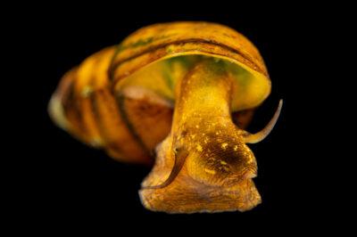 Photo: An ample elimia (Elimia ampla) photographed at the Alabama Aquatic Biodiversity Center in Marion, AL.
