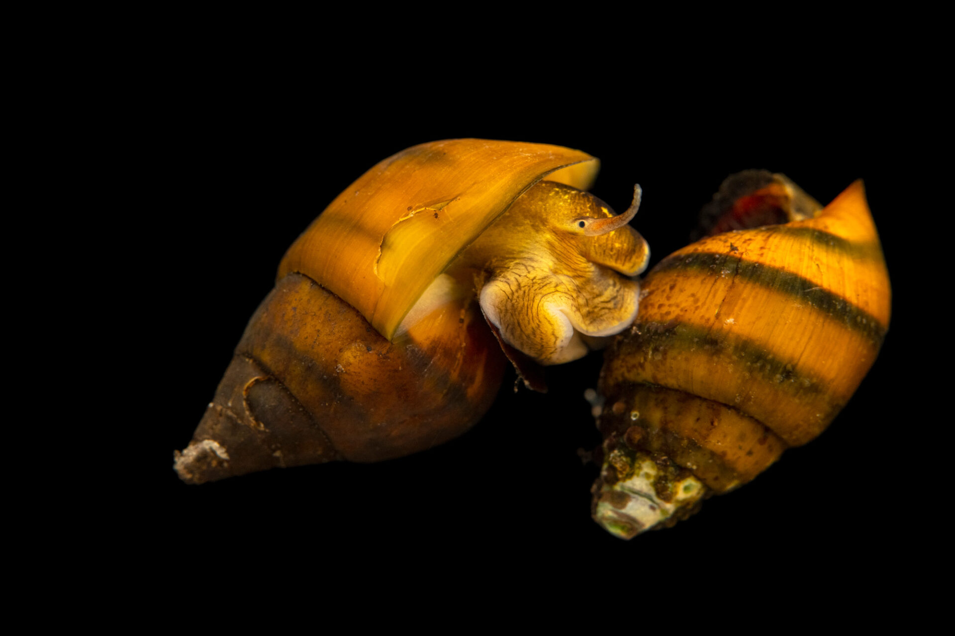 Photo: Two riffle elimia (Elimia clara) photographed at the Alabama Aquatic Biodiversity Center in Marion, AL.