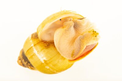 Photo: A pointed Campeloma snail (Campeloma sp.) at the Center for Aquatic Mollusk Programs in Lake City, Minnesota.
