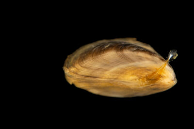 Photo: A zebra mussel (Dreissena polymorpha) showing a byssal thread, which it uses to attach onto things, at the Center for Aquatic Mollusk Programs in Lake City, Minnesota.