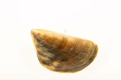 Photo: A zebra mussel (Dreissena polymorpha) at the Center for Aquatic Mollusk Programs in Lake City, Minnesota.