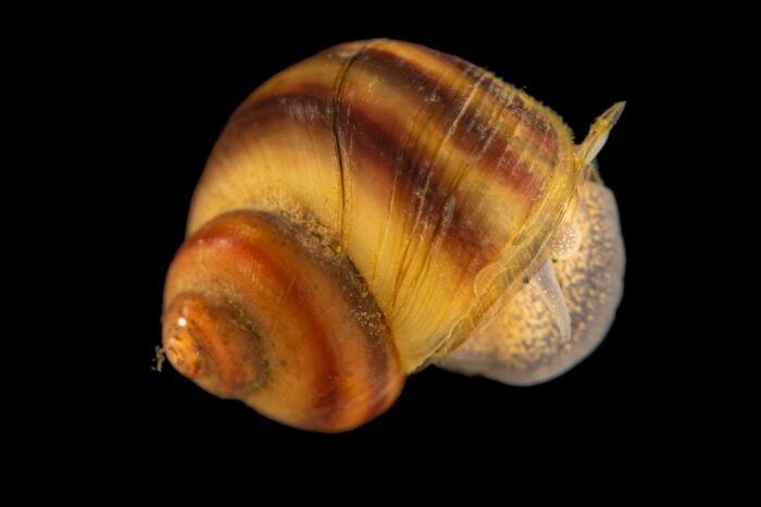 Photo: A banded mystery snail (Viviparus georgianus) at the Center for Aquatic Mollusk Programs in Lake City, Minnesota.