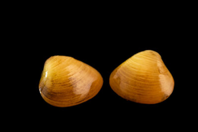 Photo: A pair of fingernail clams (Sphaerium sp.) at the Center for Aquatic Mollusk Programs in Lake City, Minnesota.