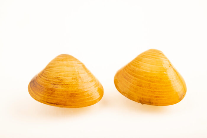 Photo: A pair of unidentified fingernail clams (Sphaerium sp.) at the Center for Aquatic Mollusk Programs in Lake City, Minnesota.