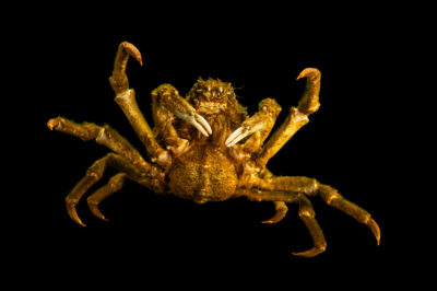 Photo: A sheep crab (Loxorhynchus grandis) at California Science Center in Los Angeles, California.