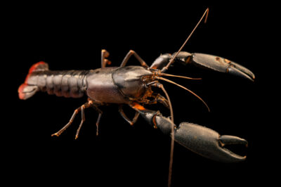 Photo: A female undescribed crayfish from New Guinea (Cherax sp.) at Petra Aqua.