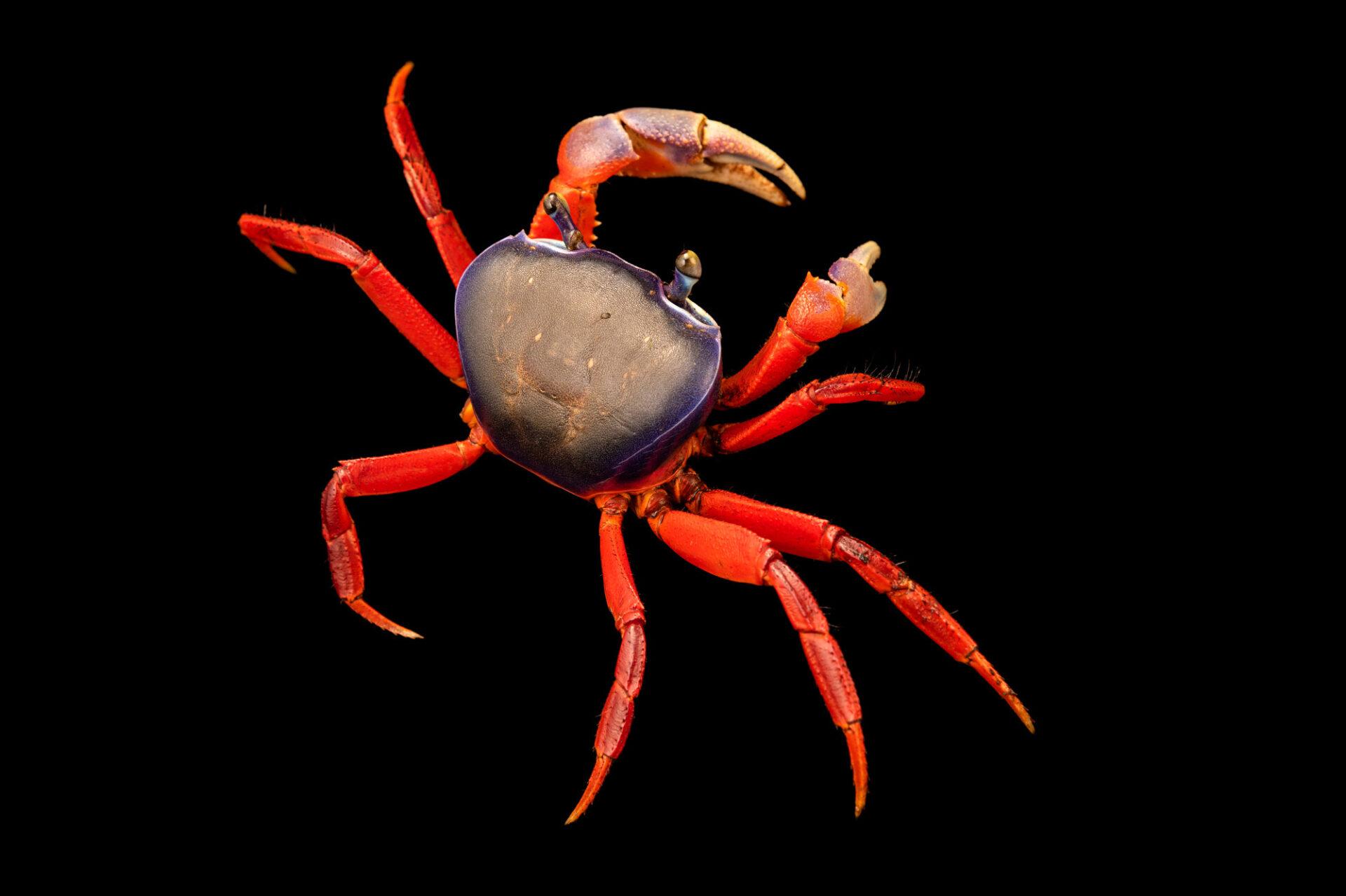 Photo: An African rainbow crab (Cardisoma armatum) at Petra Aqua.