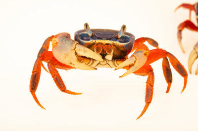 Photo: An African rainbow crab (Cardisoma armatum) at Petra Aqua.