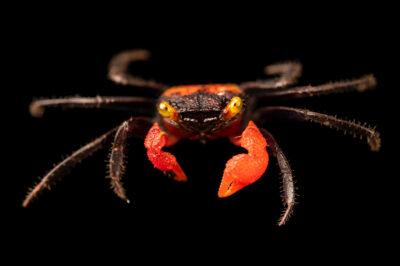 Photo: A red carnival crab (Geosesarma hagen) at Petra Aqua.