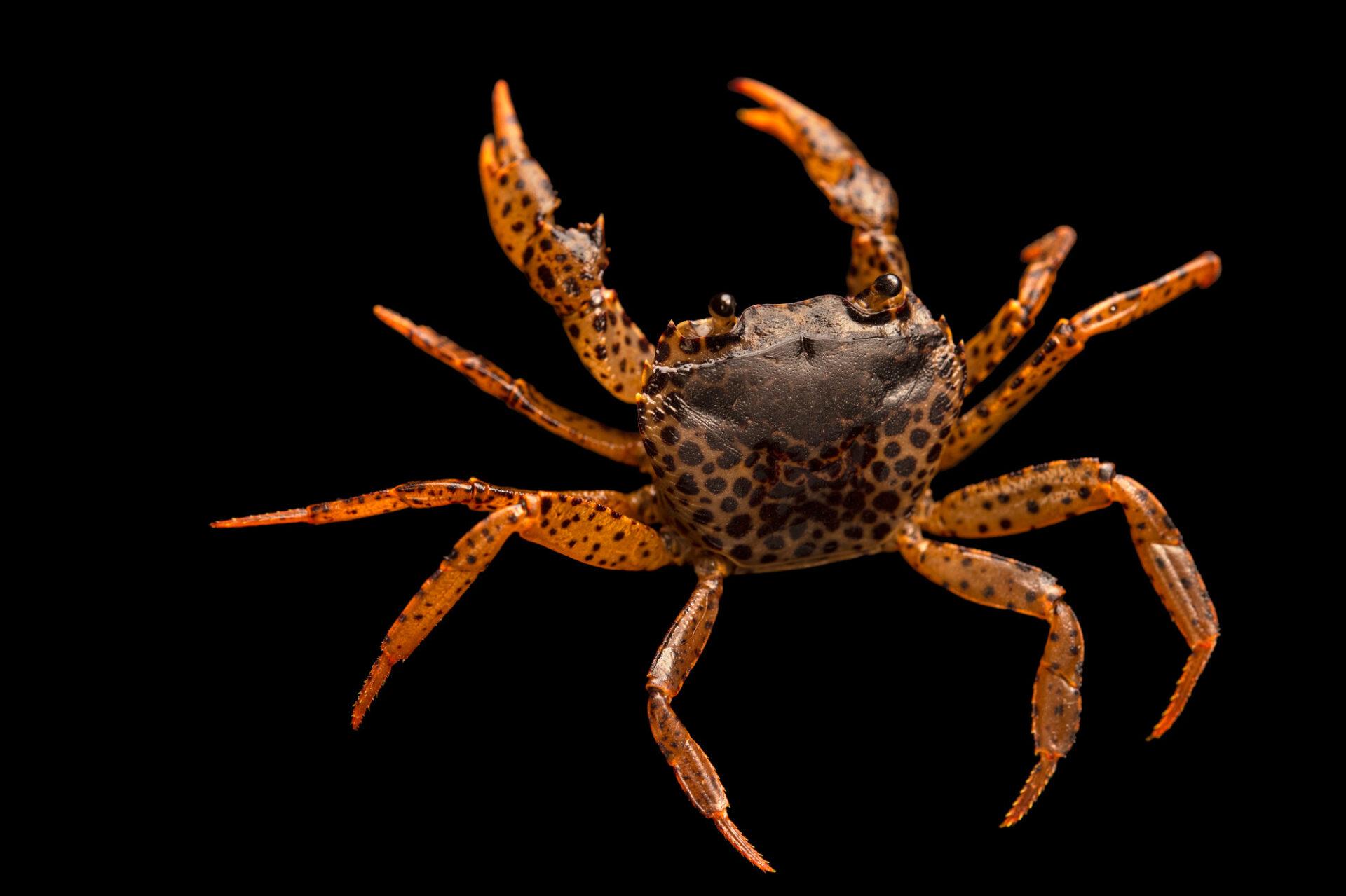 Photo: An endangered panther crab (Parathelphusa pantherina) at Petra Aqua.