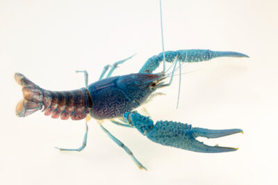 Photo: A blue crayfish or Peninsula crayfish (Procambarus paeninsulanus) at the Oklahoma Aquarium.