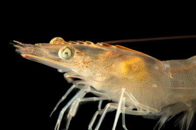 Photo: An Ecuadorian white shrimp (Litopenaeus vannamei) at the Oklahoma Aquarium.