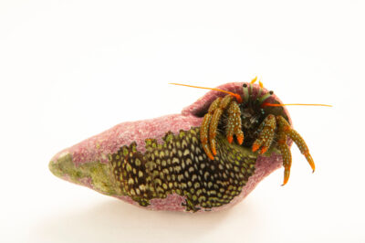 Photo: A red leg hermit crab (Clibanarius digueti) at the Butterfly Pavilion.