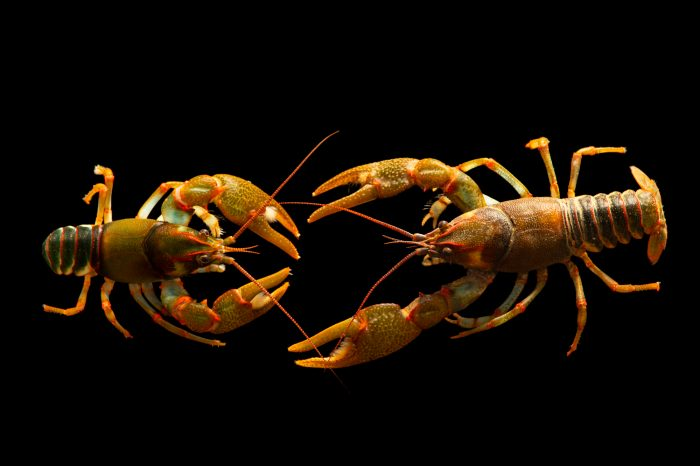 Photo: A pair of greensaddle crayfish (Cambarus manningi), collected near Cedar Springs, Alabama, by the West Liberty University Crayfish Conservation Lab.