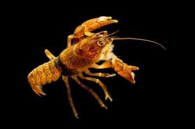 Photo: A speckled crayfish (Cambarus lentiginosus) collected from Flint River, Alabama, by the West Liberty University Crayfish Conservation Lab.