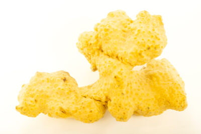 Photo: A boring sponge (Cliona celata) at Gulf Specimen in Panacea, Florida.