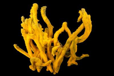 Photo: A green finger sponge (Suberites aurantiacus) at Gulf Specimen in Panacea, Florida.