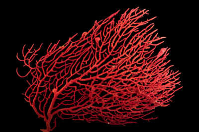 Photo: A regal sea fan (Lophogorgia hebes) at Gulf Specimen Aquarium in Panacea, FL.