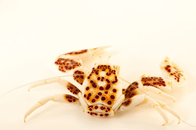 Photo: A porcelain anemone crab (Neopetrolisthes oshimai) at the Downtown Aquarium in Denver, Colorado.