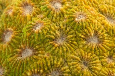 Photo: A sunray brain coral (Diploastrea heliopora) at the Downtown Aquarium in Denver, Colorado.