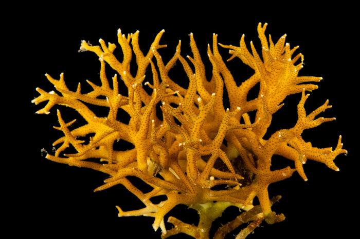 Photo: A staghorn coral (Acropora tortuosa) at the Downtown Aquarium in Denver, Colorado.