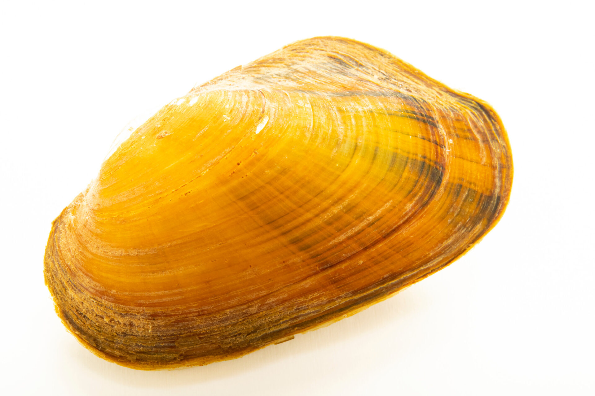 Photo: An Alabama creekmussel (Pseudodontoideus connasaugaensis) at the Alabama Aquatic Biodiversity Center in Marion, Alabama.