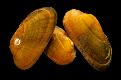 Photo: Three endangered coosa mocassinshell (Medionidus parvulus) photographed at the Alabama Aquatic Biodiversity Center in Marion, AL.