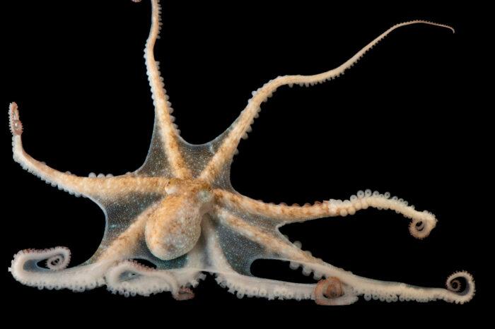 Photo: A Caribbean reef octopus (Octopus briareus) at the Medicine Park Aquarium and Natural Sciences Center in Medicine Park, OK.