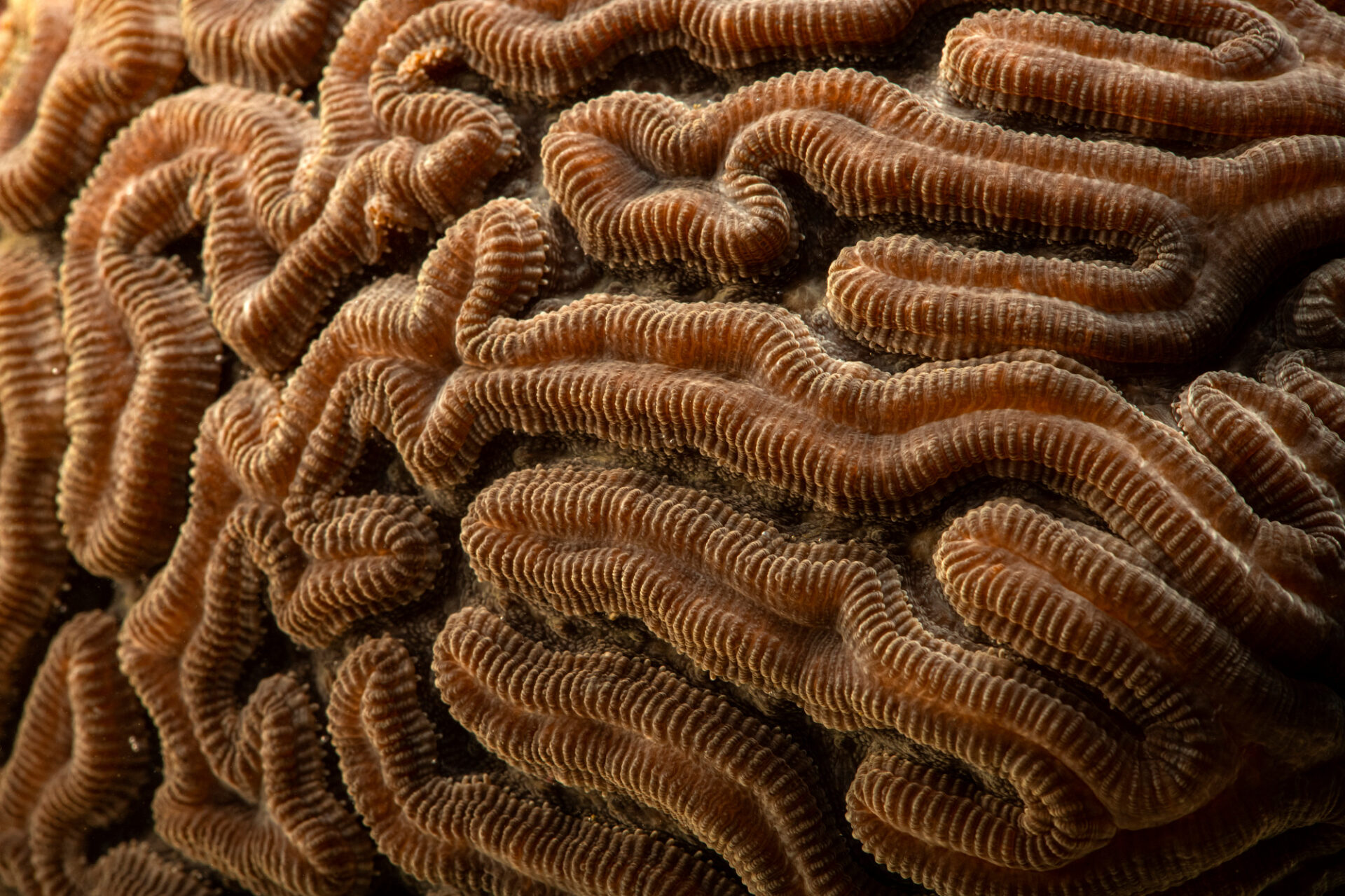 Photo: A grooved brain coral (Diploria labyrinthiformis) at Riverbanks Zoo and Garden.